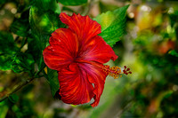 Red Hibiscus 2